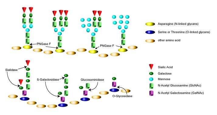 Deglycosylation Image