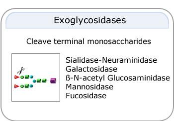 Exoglycosidases