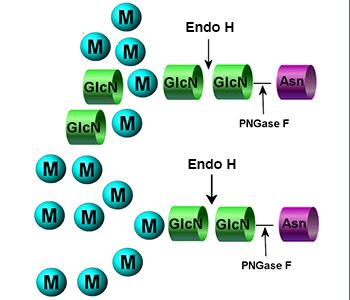 Endo H image