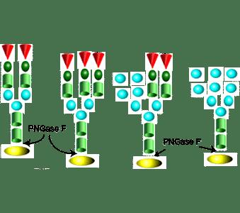 PNGase F image