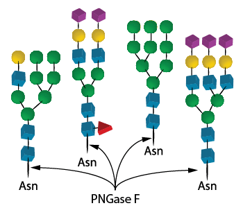 recombinant_PNGase F