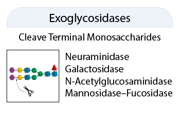 Exoglycosidase Category badge